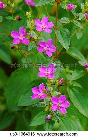 Stock Images of Flowers of Tibouchina sp, Melastomataceae.