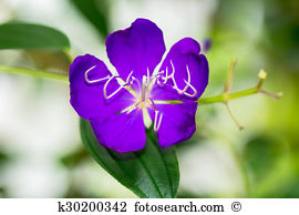 Tibouchina tree Stock Photo Images. 13 tibouchina tree royalty.