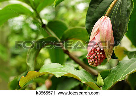 Stock Photography of rose grape, medinilla magnifica.