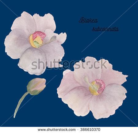 Melastomatceae Stock Photos, Royalty.