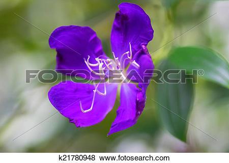Pictures of Tibouchina sp, Melastomataceae k21780948.