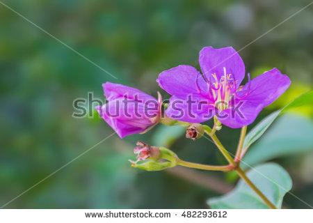 Melastomataceae Stock Photos, Royalty.