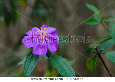 Melastomataceae Stock Photos, Royalty.