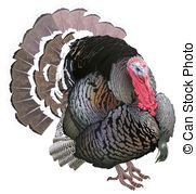 Meleagris gallopavo Illustrations and Clipart. 11 Meleagris.