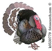 Meleagris gallopavo Clipart and Stock Illustrations. 8 meleagris.