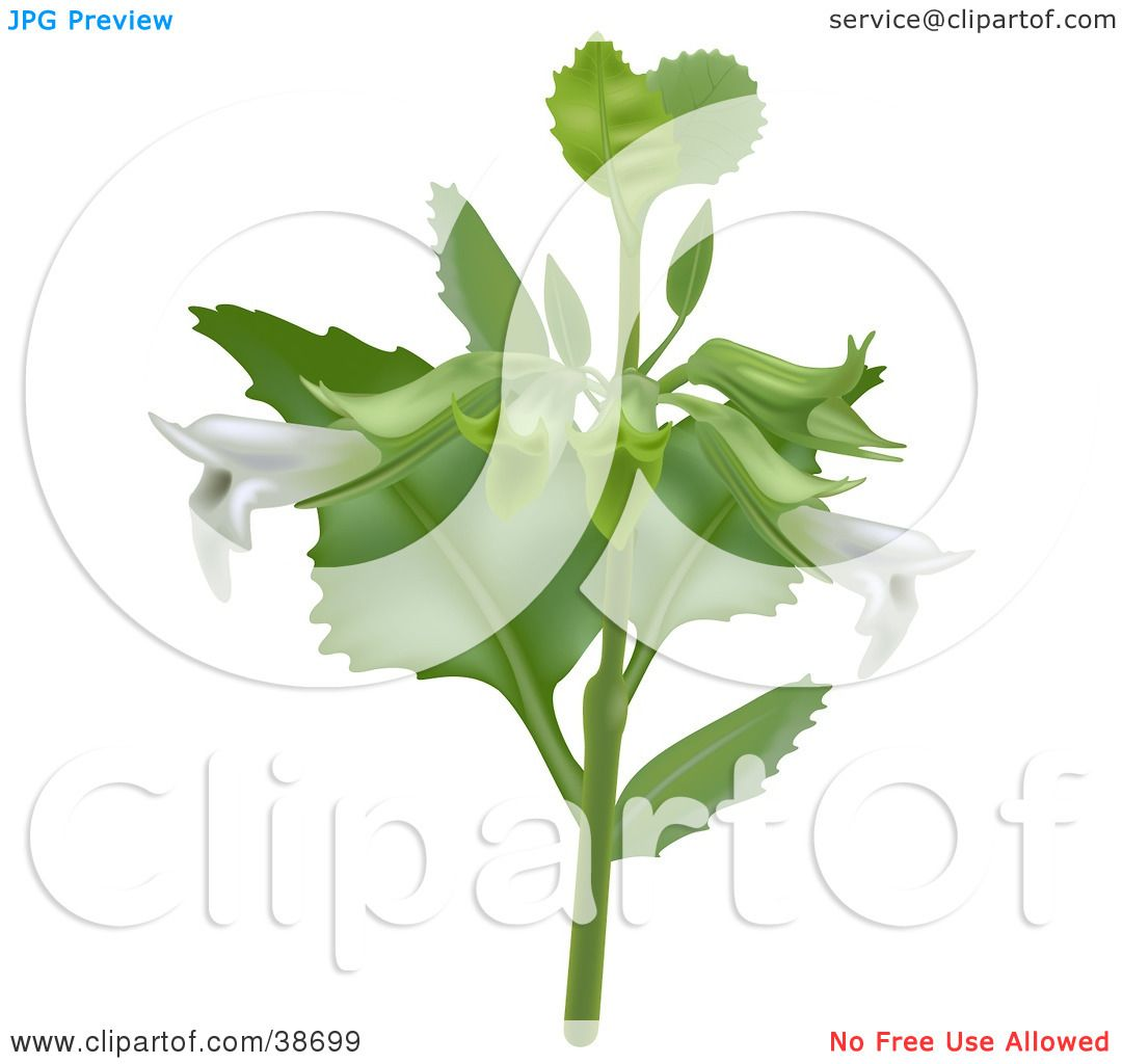 Clipart Illustration of White Lemon Balm (Melissa Officinalis.