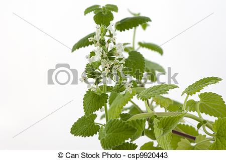 Stock Photos of Melissa officinalis.