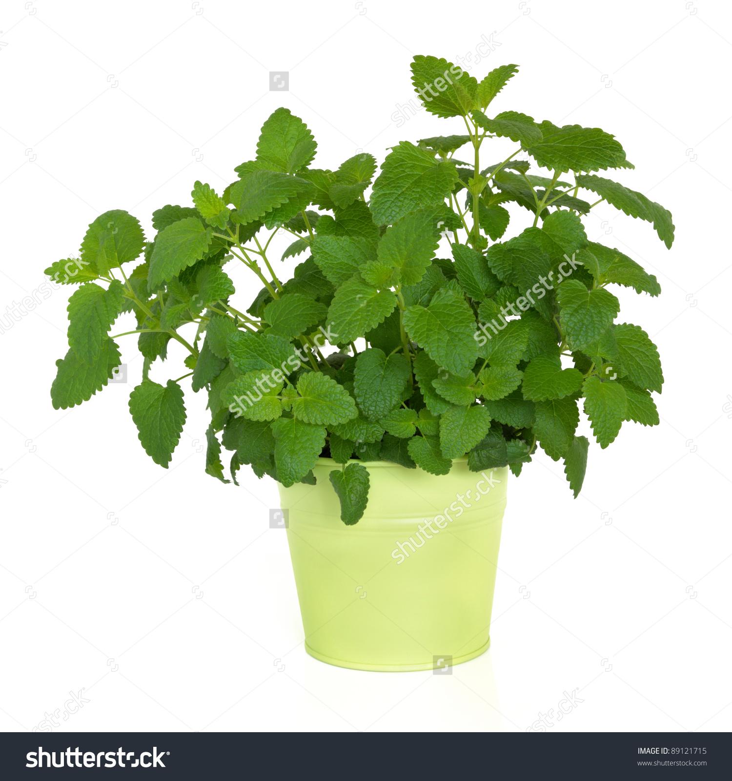Lemon Balm Herb Plant Green Metal Stock Photo 89121715.