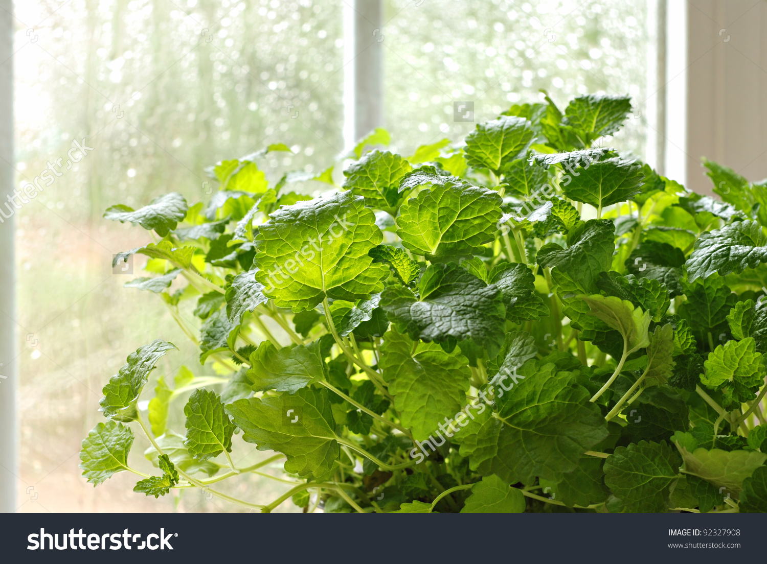 Lemon Balm Herb Plant (Melissa Officinalis) In Kitchen Window With.