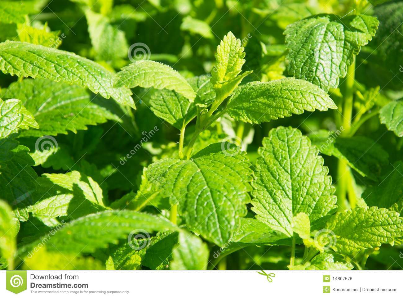 Melissa Officinalis Stock Images.