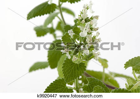 Picture of Melissa officinalis k9920447.