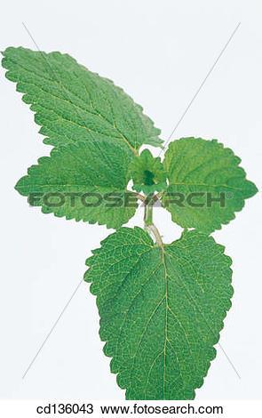 Stock Photo of Lemon Balm (Melissa officinalis) cd136043.