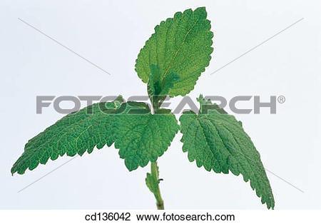 Stock Photo of Lemon Balm (Melissa officinalis) cd136042.