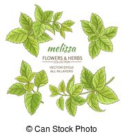 Melissa officinalis Vector Clipart Royalty Free. 8 Melissa.