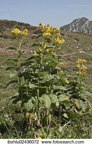 "Stock Photo of ""Groundsel (Senecio cordatus), Kanisfluhgebiet."