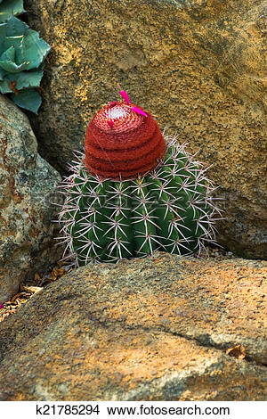 Stock Photo of Melocactus concinnus, Cactaceae k21785294.