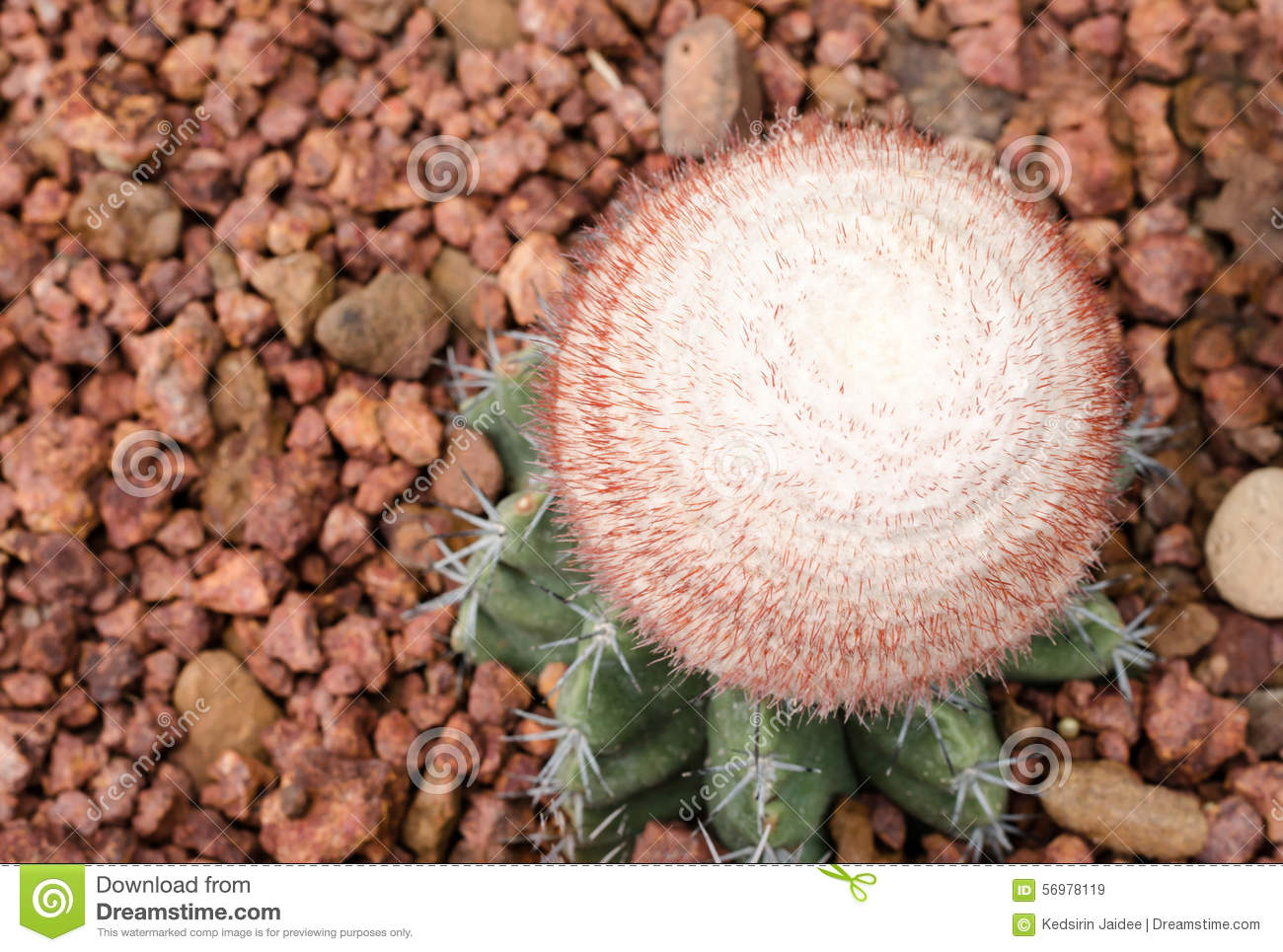 Melocactus Ernestii Plant Stock Photo.