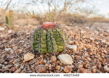 Melocactus Stock Photos, Royalty.