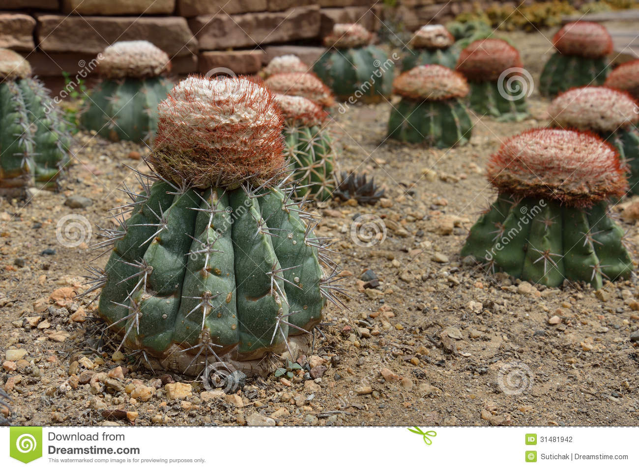 Melocactus Stock Photos, Images, & Pictures.