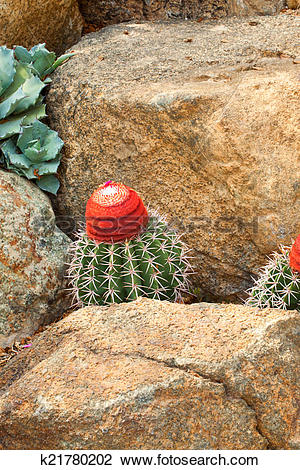 Stock Photo of Melocactus concinnus, Cactaceae k21780202.