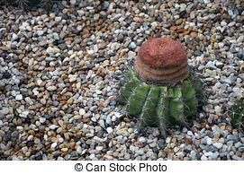 Stock Photography of Melocactus Turk cap cactus csp41101507.