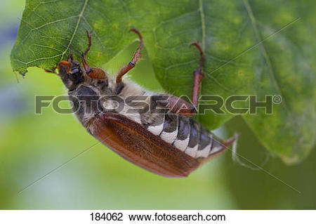 Stock Photo of Common Cockchafer, Maybug (Melolontha melolontha.