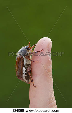 Stock Images of Common cockchafer, Maybug (Melolontha melolontha.