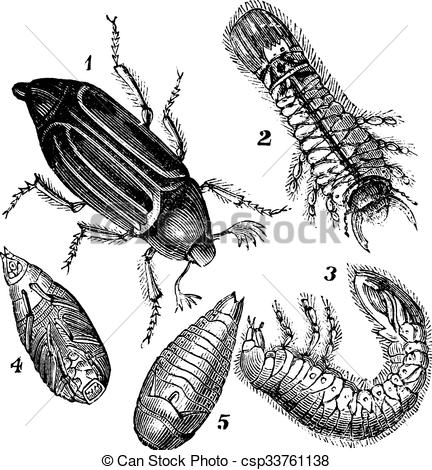 Vectors of 1.Regular Chafer (Melolontha vulgaris) 2.Larva rear.