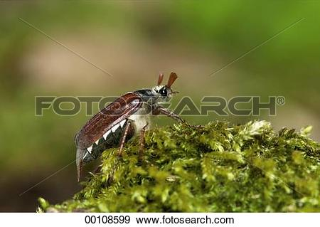 Stock Photograph of Juniors, Melolontha, animal, animals, beetle.