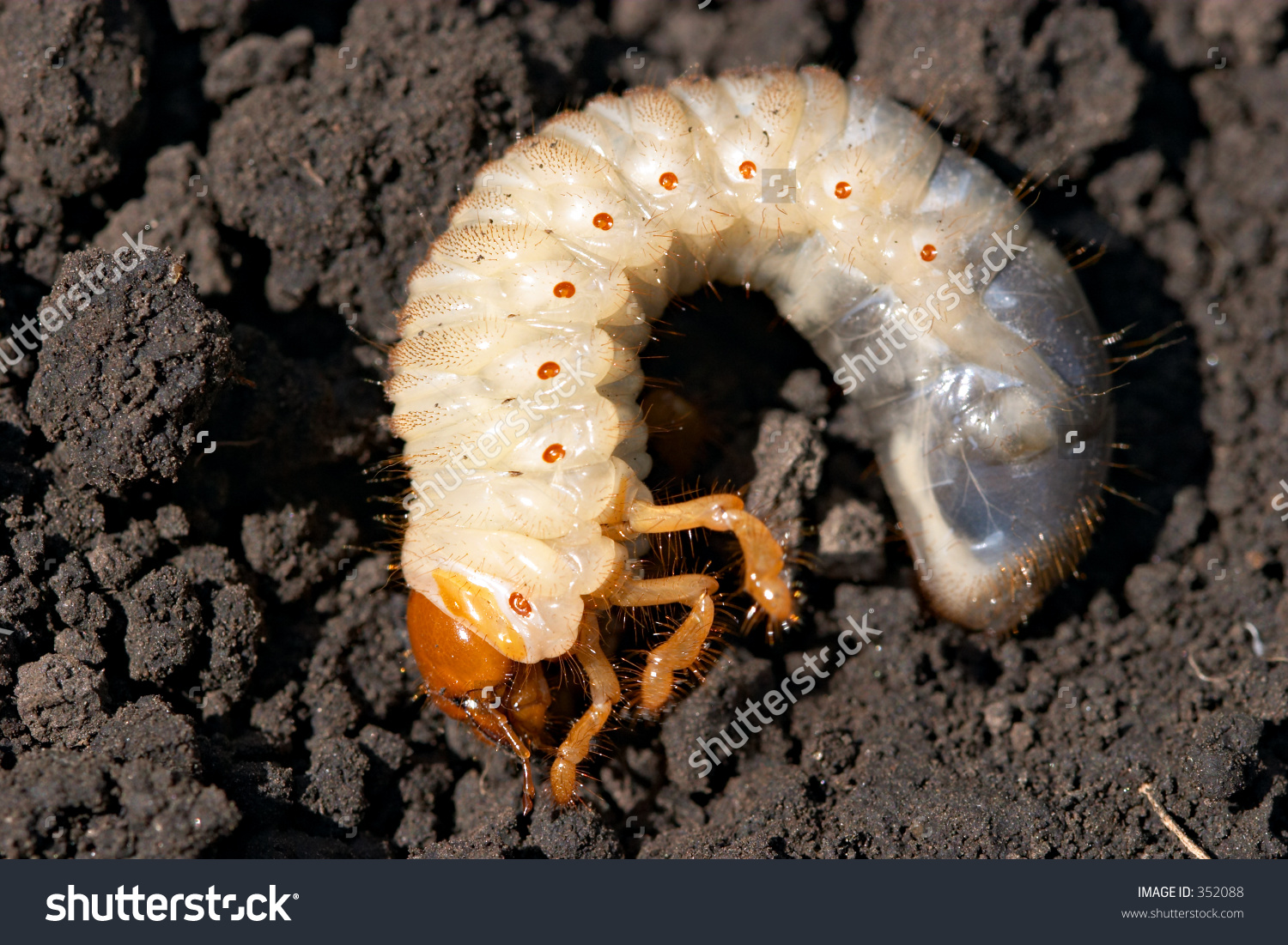 Maybug Grub Melolontha Vulgaris Stock Photo 352088.