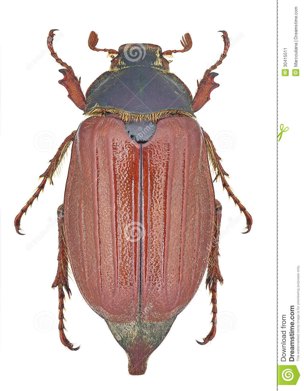 Melolontha Melolontha Cockchafer Stock Image.