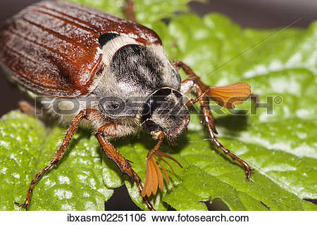 Stock Images of Cockchafer or May Bug (Melolontha melolontha) on a.
