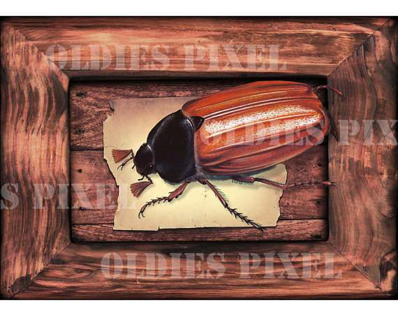 Items similar to May Bug / Cockchafer / Melolontha Melolontha.