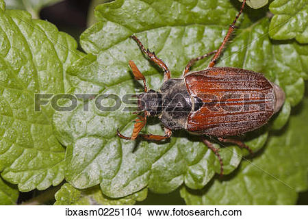 Stock Photo of Cockchafer or May Bug (Melolontha melolontha) on a.