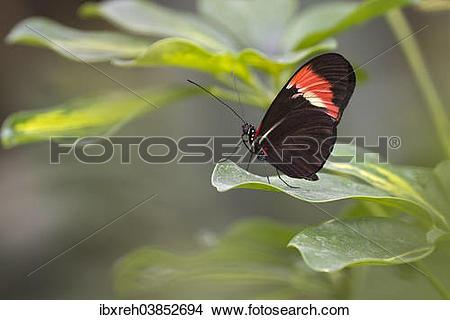 "Stock Photo of ""Postman Butterfly (Heliconius melpomene), native."