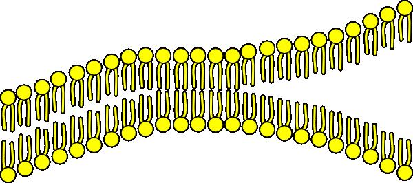 Cell Membrane Clip Art at Clker.com.