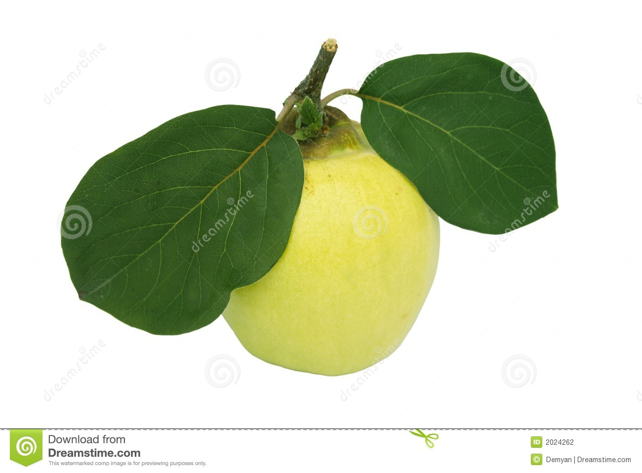 Quince And Leaf Stock Photography.