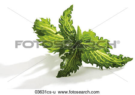 Stock Images of Mint, Mentha spicata, Mentha piperita Peppermint.