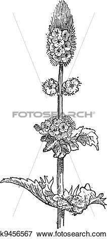 Clip Art of Spearmint or Mentha spicata, vintage engraving.