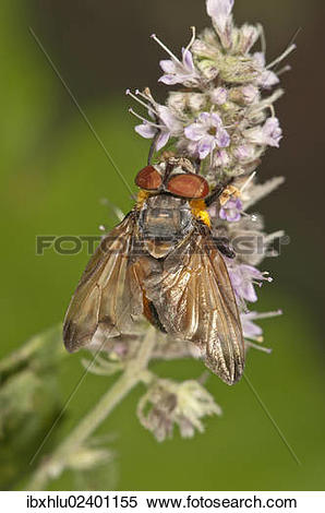 "Stock Image of ""Tachinid Fly (Phasia Hemiptera) on Horse Mint."