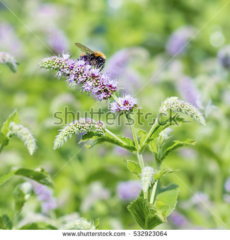 Mentha Stock Photos, Royalty.