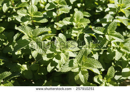 Mentha Longifolia Stock Photos, Images, & Pictures.
