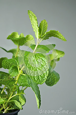 Medicinal Plant: Mentha Longifolia Stock Photo.