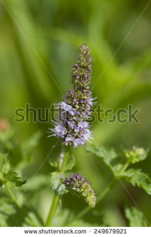 Longifolia Stock Photos, Royalty.
