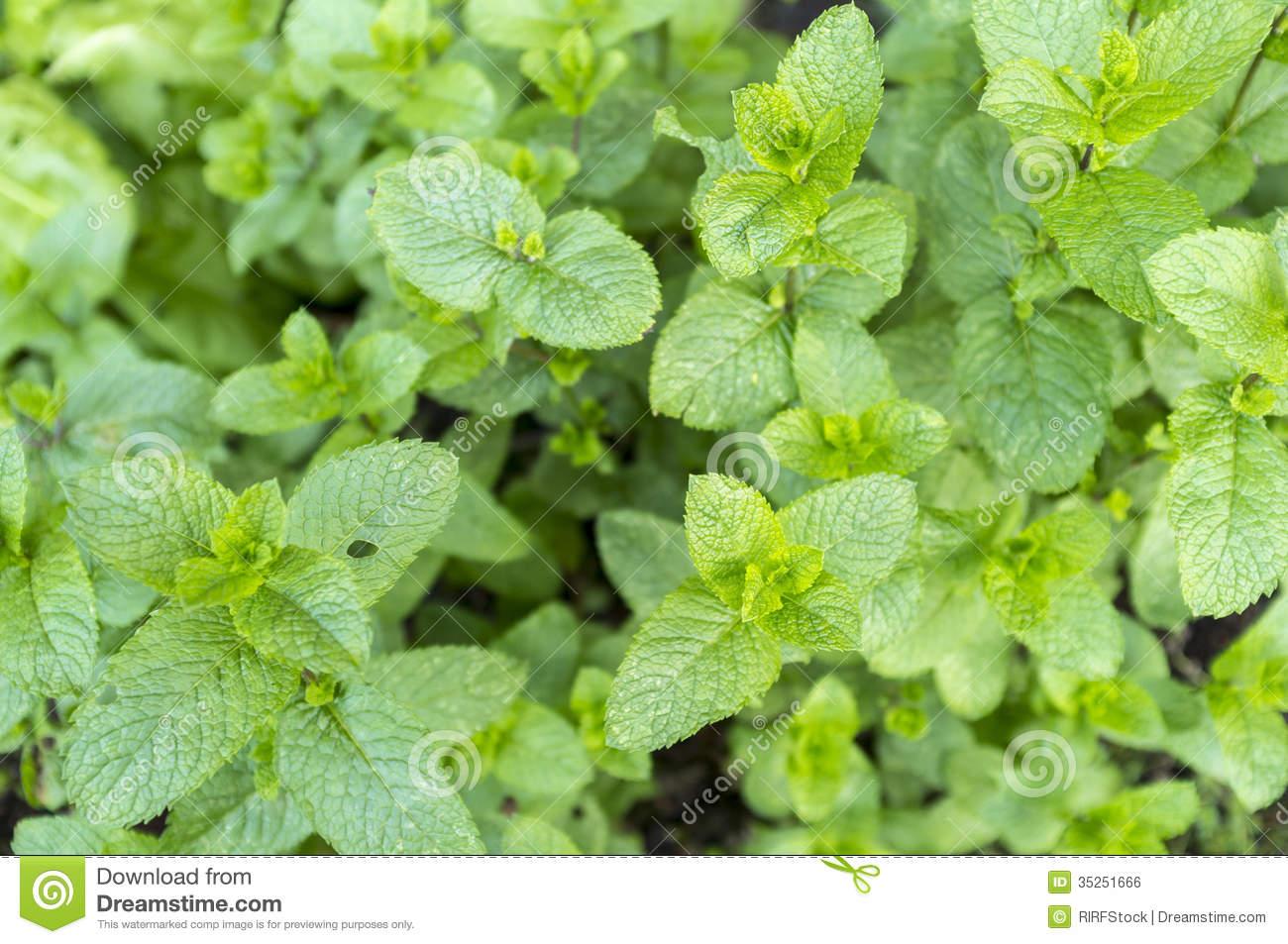 Mentha Spicata (Spearmint) Stock Photo.