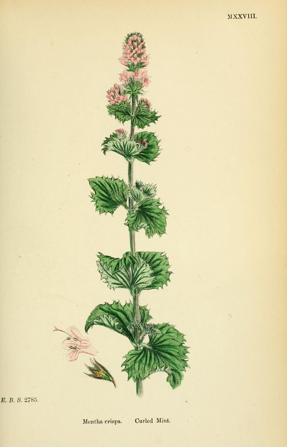 Curly Spearmint.
