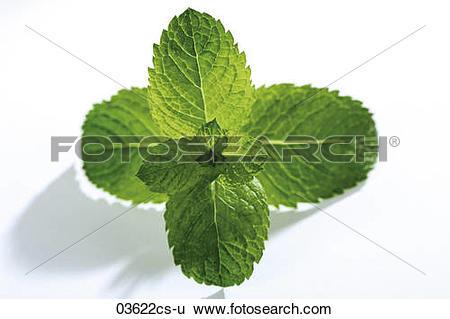 Stock Images of Spanish Mint, mentha spicata 03622cs.