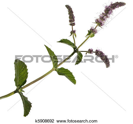Stock Photo of Mentha spicata (Spearmint, Spear Mint). Isolated.