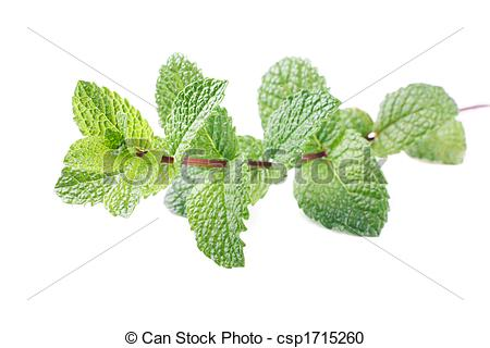 Stock Photography of mint stem mentha spicata isolated on white.