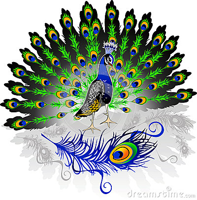 Majestic Peacock Stock Illustrations.